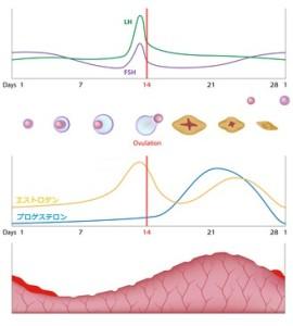 ホルモンバランスと分泌サイクル