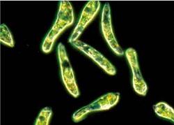 ユーグレナBCADの主成分ミドリムシ